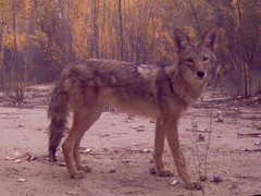 czechoslovakian wolfdog(0.0), gray wolf(0.0), pet(0.0), wolfdog(0.0), saarloos wolfdog(0.0), animal(1.0), dingo(1.0), dog(1.0), red wolf(1.0), jackal(1.0), fauna(1.0), dhole(1.0), native american indian dog(1.0), coyote(1.0), carnivoran(1.0), wildlife(1.0),