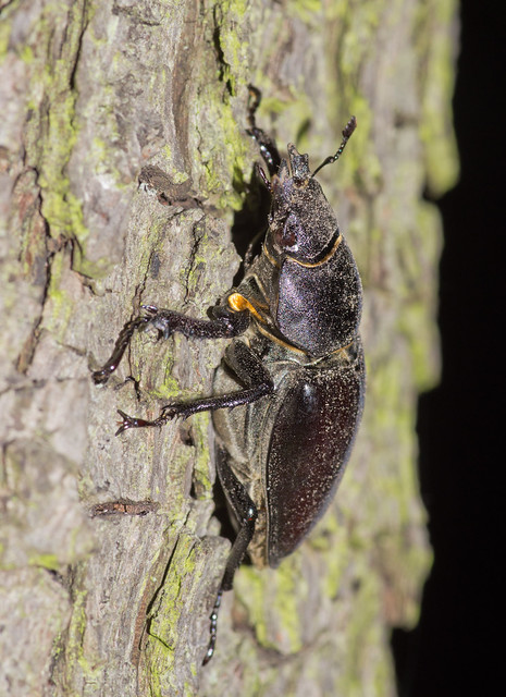 stag beetle female on tree