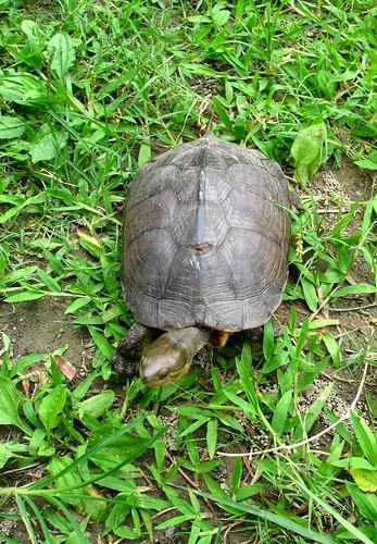 根據特生中心調查發現,台灣原生物種柴棺龜在缺乏食物下會食用福壽螺;圖為曾捕食福壽螺的雌性柴棺龜。(葉大詮攝)