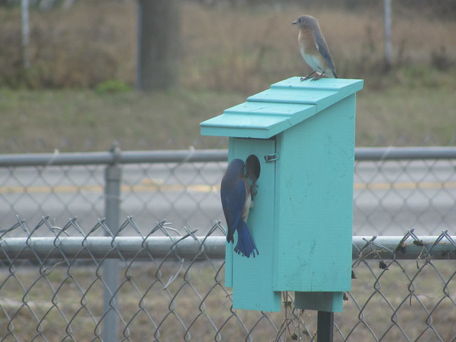 Blue Birds checking out nextbox 06