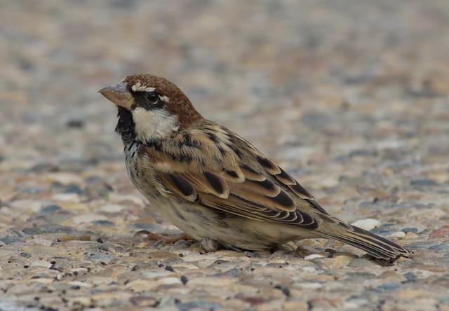 Spanish sparrow 7