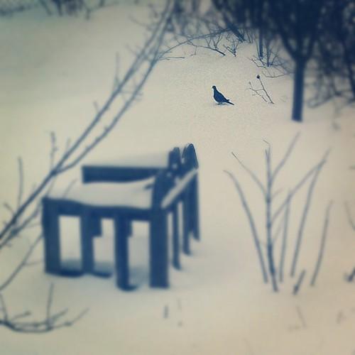 snow dove