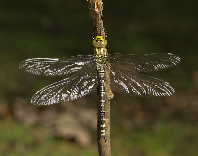 Southern hawker just emerged 4