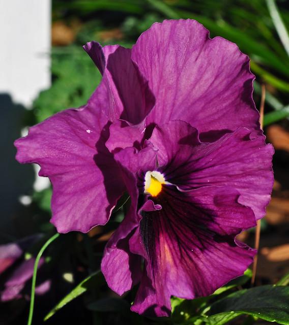 Viola x 'Persian Medley'  (3)