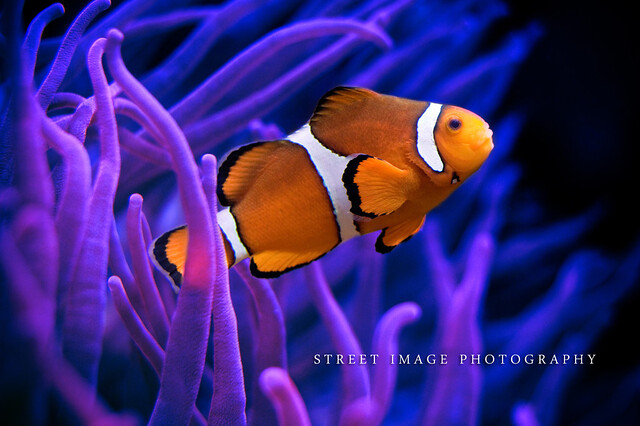 6697542955 5a34e66cae z Photographers Who Found Nemo And Photographed It