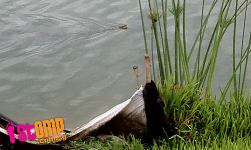 Beware of 2m-long python spotted swimming in Punggol Waterway