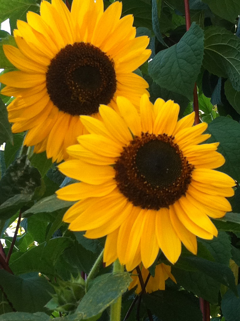 Sunflowers in late August