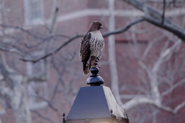Rosie on an eagle lamp