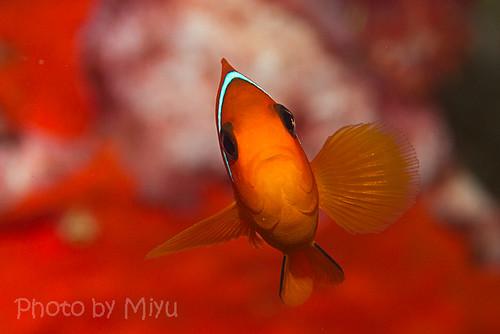 トマトの幼魚