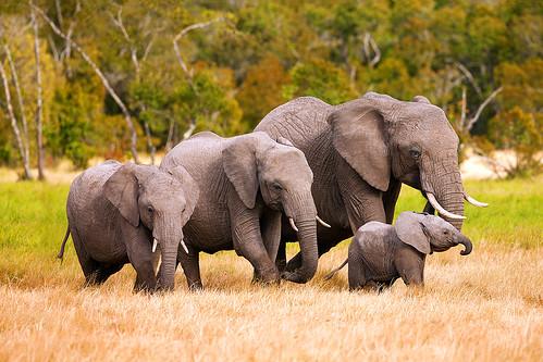 """""""Jamii Tembo"""" - Kenya Africa Elephant Family"""