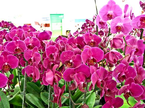 IMG_1542 Phalaenopsis orchids