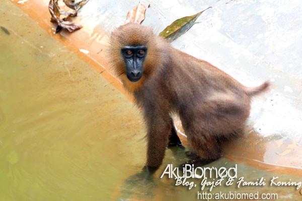 Monyet basuh buah