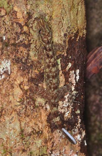 Camouflaged gecko (Cyrtodactylus sp ?)