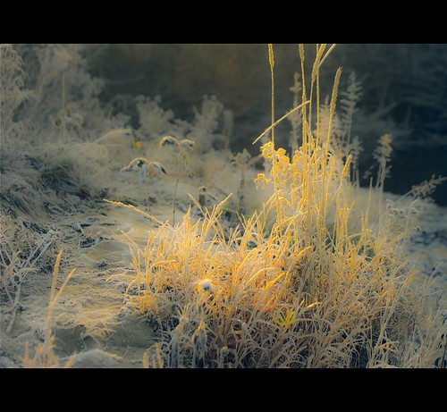 morning canada weed québec herbe givre matin herbage foins portneuf deniscollette pontrouge img74652