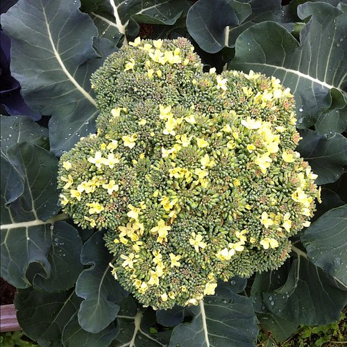 Flowering broccoli by springknitter