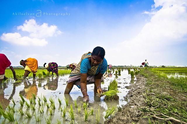நாத்து நடவு | Paddy Cultivation