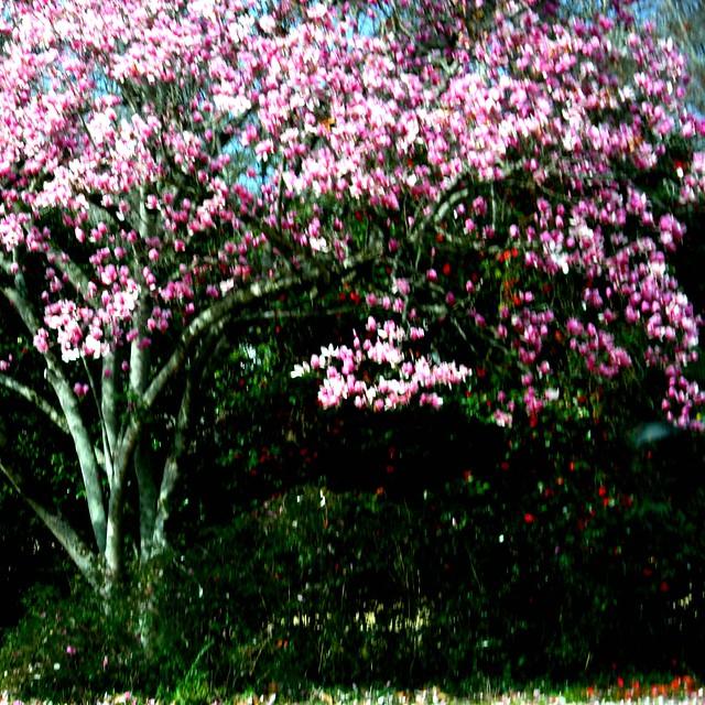 Magnolia Cherry Blossom Tree
