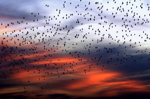 sunset nature beauty still colorful pretty quiet unitedstates dancing florida wildlife flock dramatic peaceful national weaving blackbirds cloudscape exciting refuge southflorida palmbeachcounty loxahatchee boyntonbeachflorida inthestillofthenight likeawave onlythebestofnature