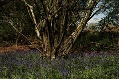 Bluebells in Old Park Woods 2014