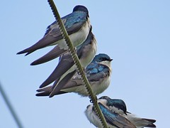 Tree Swallows, Sikes Lake, King County, WA 4/21/14