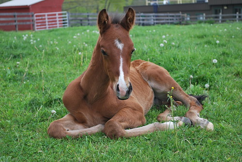 04/22/2016- Warmblood Cross colt by Blue Zephyr and out of Aly. Photo by Sarah Reed.