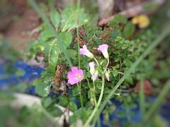Hoa me chua