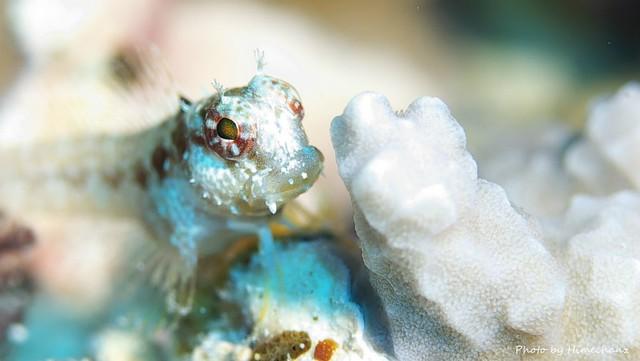 エリグロギンポ幼魚♪