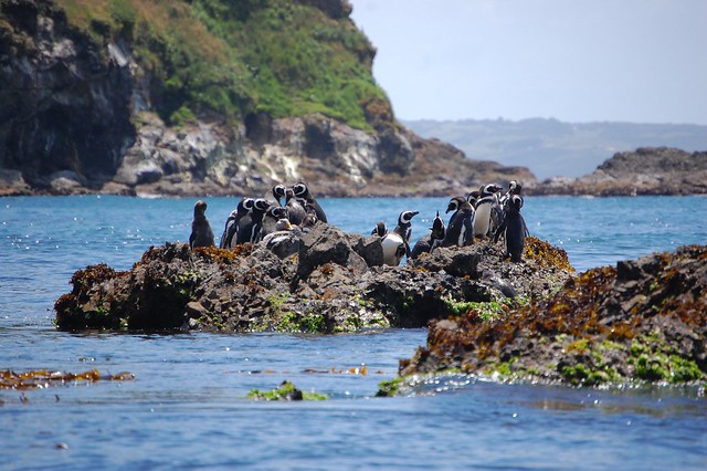 Penguins at Puñihuil, Chiloé, Chile