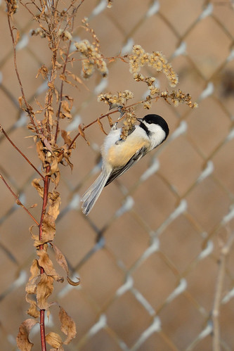Chickadee and Fence DSC_9457