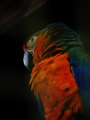 Orange and Blue Macaw