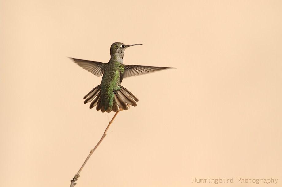 Anna's Hummingbird 112711