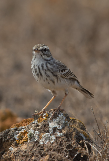 Berthelots pipit - Costa Teguise