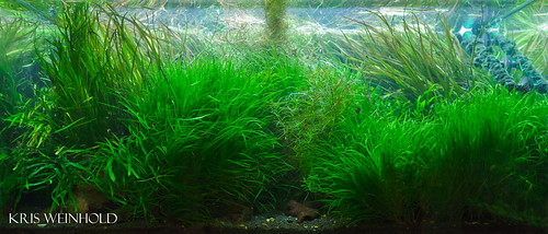 50G - Overgrown with Blyxa
