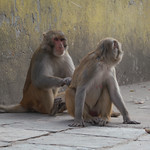 Monkeys @ Swayambhunath Stupa