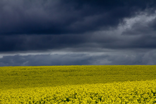 Canola Fields on the road to Boorowa by kaz86
