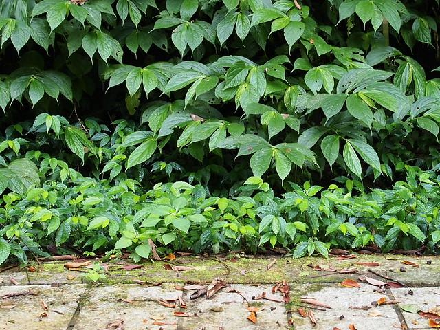 闊葉樓梯草與冷清草