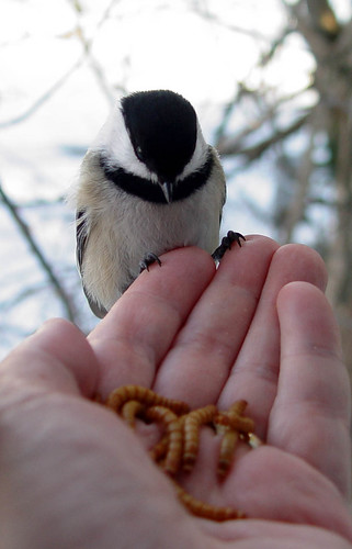 Handfeeding mealworms to a Black-capped Chickadee
