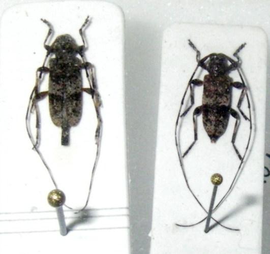 Acanthocinus griseus 6535921765_ee538fcb61_o