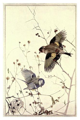 034-Jilguero y herrerillo azul- Birds in town & village 1920-Ilustrado por Edward Detmold