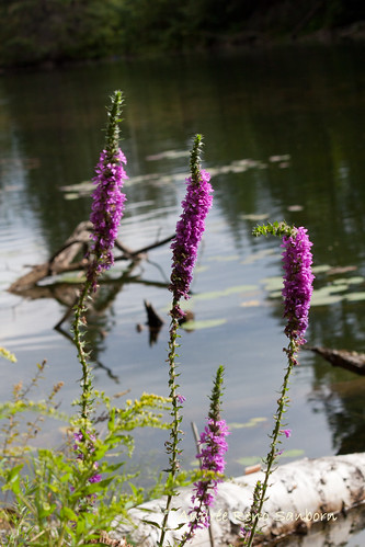 Invasive Purple Loosestrife-1.jpg