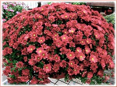 Chrysanthemum hybrid (Mums) with carmine flowers at a garden centre