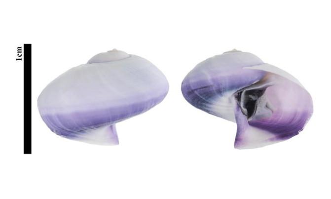 紫螺:擁有輕盈浪漫的紫色外殼