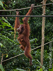 Orang Utan mom in full swing, with baby clinging on for dear life.