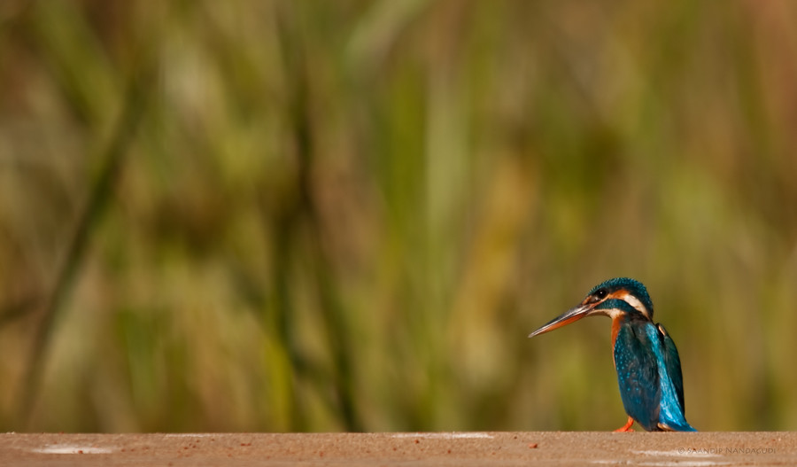 Small-Blue-Kingfisher