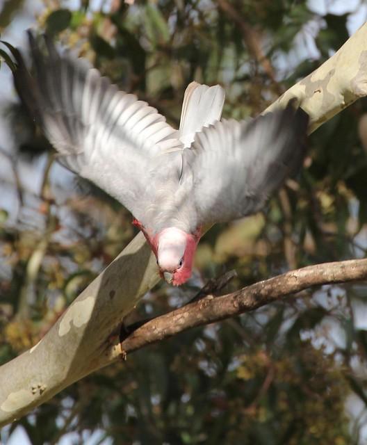Galah Cockatoo diving off branch (Eolophus roseicapilla)
