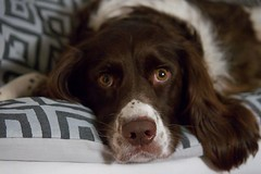 dog breed, animal, dog, pet, mammal, small mã¼nsterlã¤nder, drentse patrijshond, brittany, spaniel,