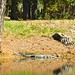 Small photo of Aforementioned alligator