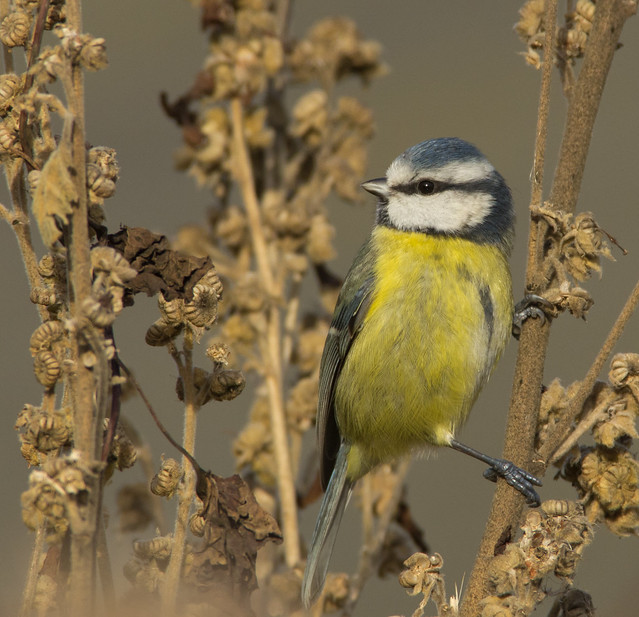 blue tit on seed heads 2