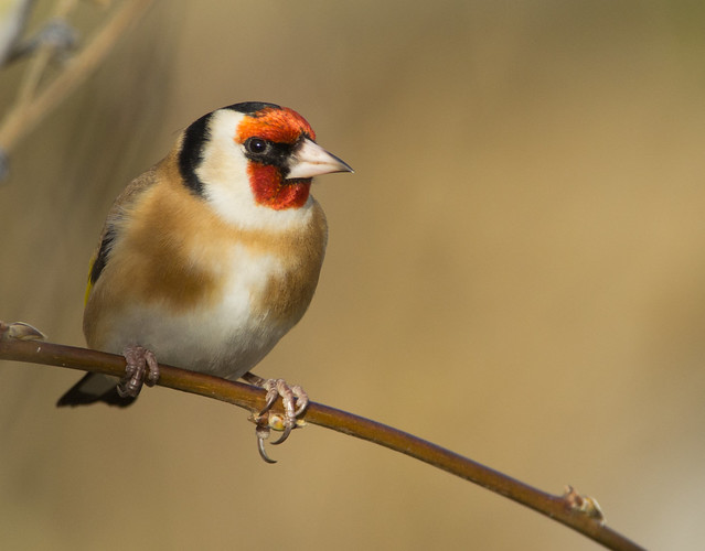 goldfinch 4
