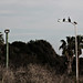 Brown Pelicans on the Lamppost